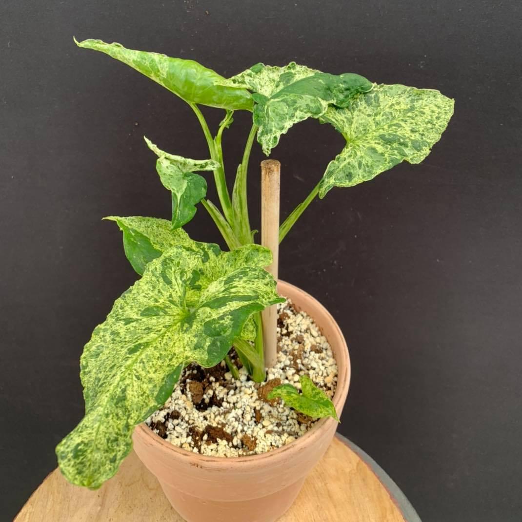 Syngonium Mojito. Pianta che dà molte soddisfazioni, cresce in fretta e ha necessità di poche cure.