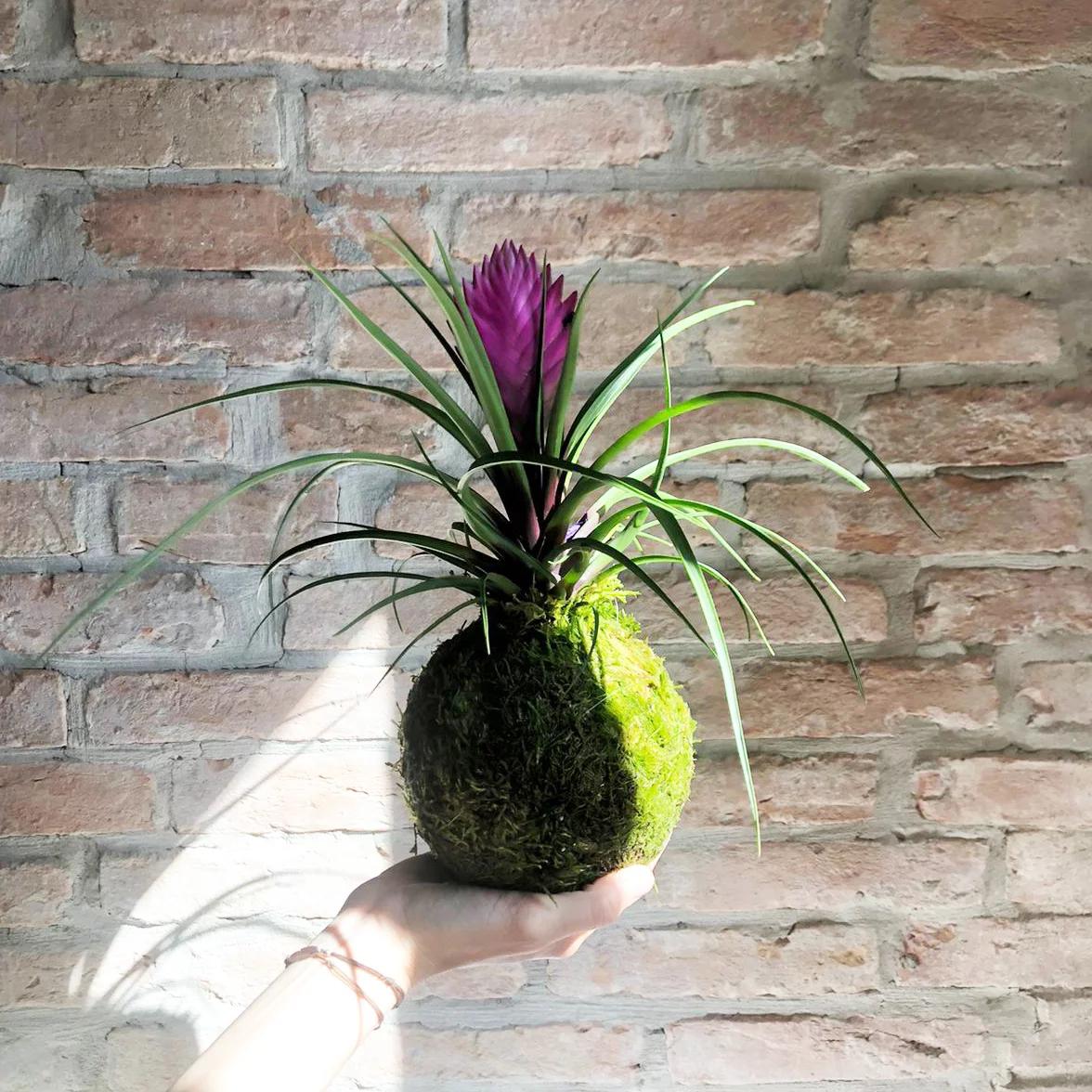 La Tillandsia Cynaea è una pianta erbacea sempreverde appartenente alla famiglia delle Bromelliaceae. Grazie alla sua resistenza e versatilità, si adatta a vivere in qualsiasi ambiente.