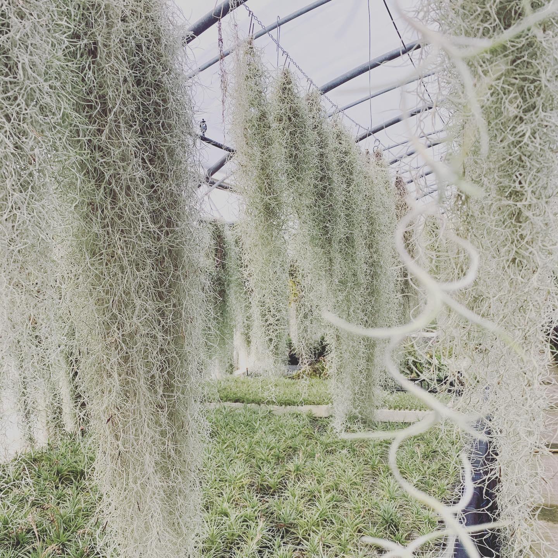 Tillandsia usneoides: Durante l'estate sbocciano dei fiorellini profumati gialli e verdi