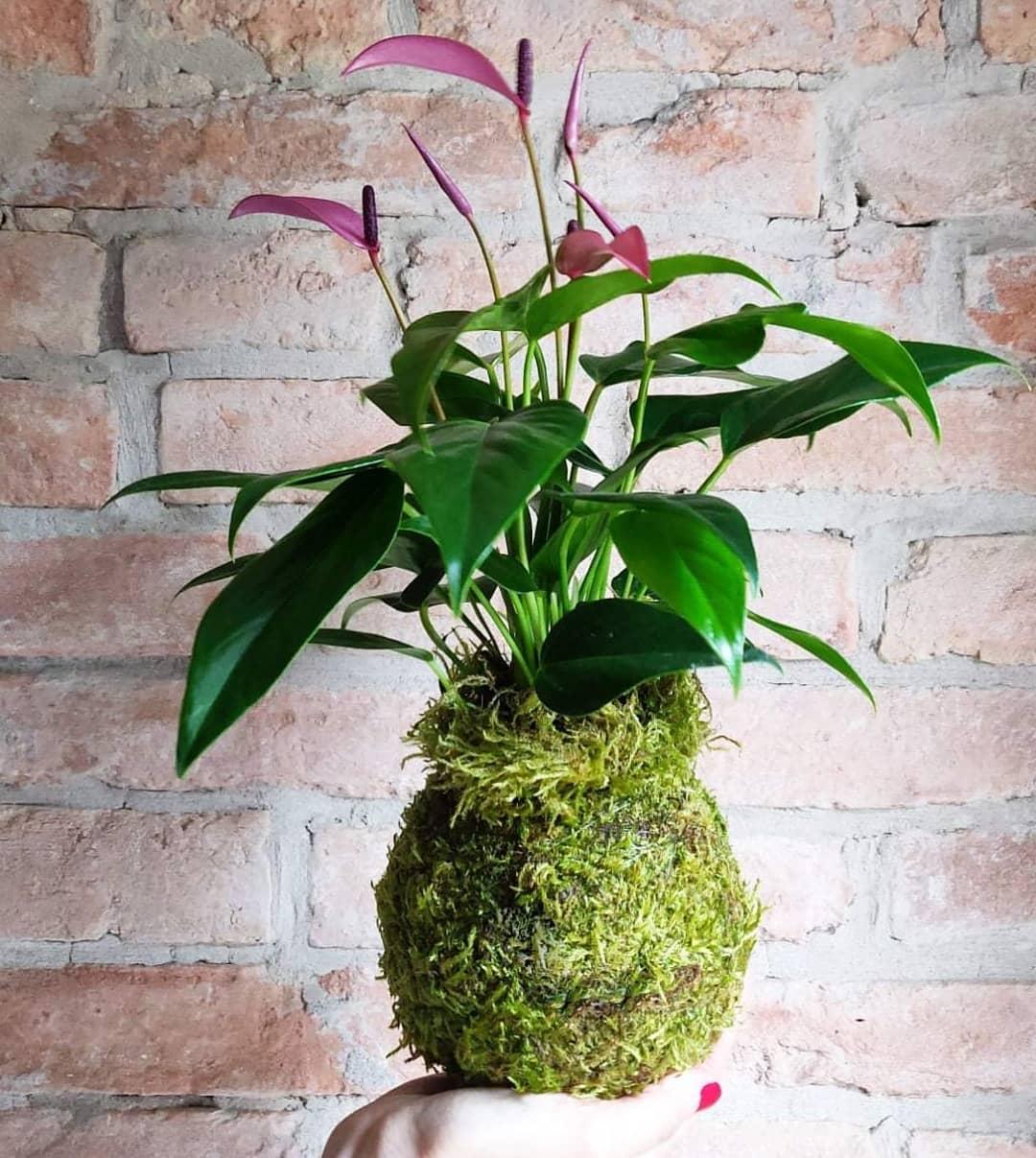 Anthurium francese. Sono piante epifite, che crescono sui rami degli alberi, come le orchidee. Vivono appolaiate sui rami, tra la densa vegetazione.