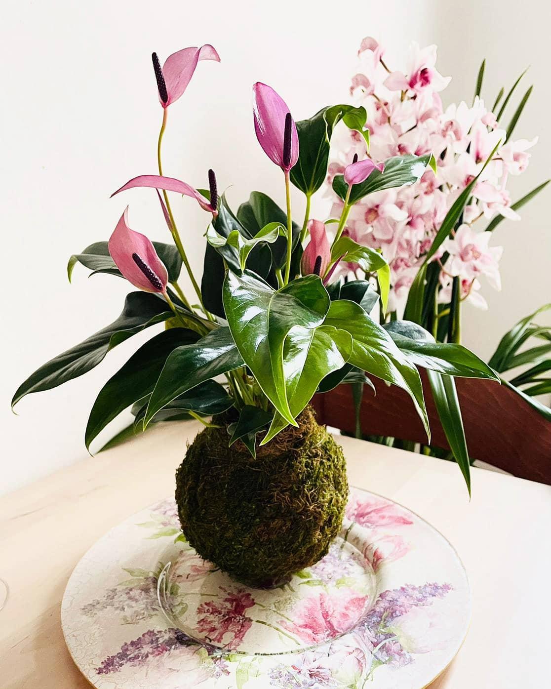 Anthurium. Mantenere l'Anthurium tra i 16 e i 18°C e assicurarle la giusta dose di umidità è una delle poche cure che questa pianta richiede.