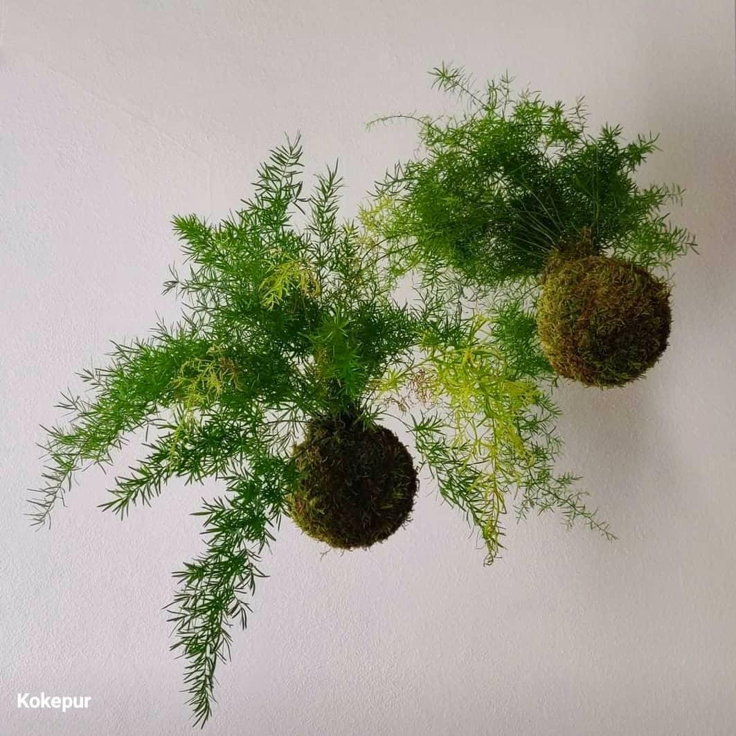 Asparagus. Proviene dall'Africa tropicale e dall'Asia centro-occidentale.