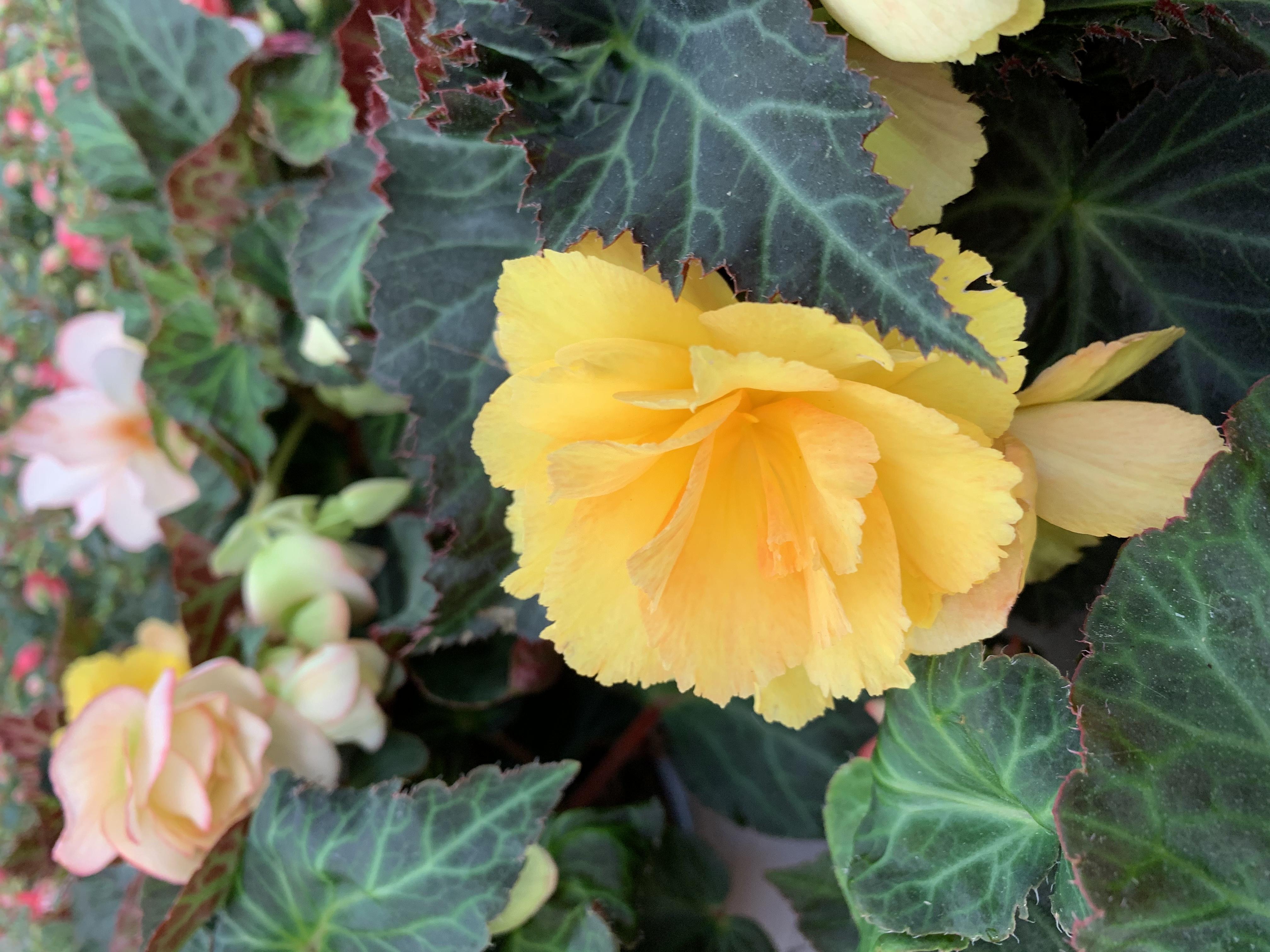 Le begonie prediligono posizioni al sole o parzialmente ombreggiate, in ogni caso comunque, al riparo da correnti di aria fredda.