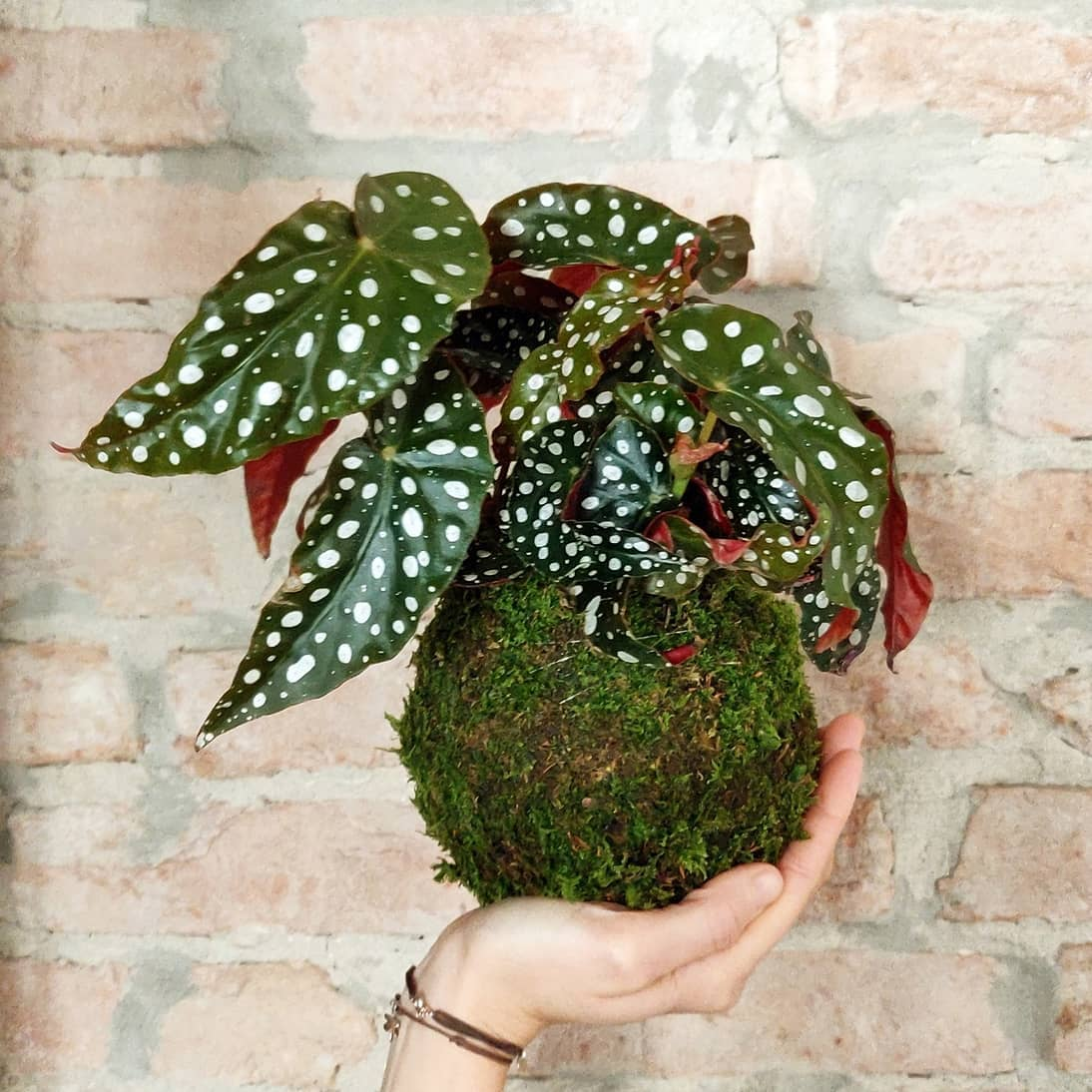 Begonia Maculata. È una pianta a pois con un contrasto spettacolare dato dal verde della lamina superiore e dall'intenso rosso di quella inferiore!