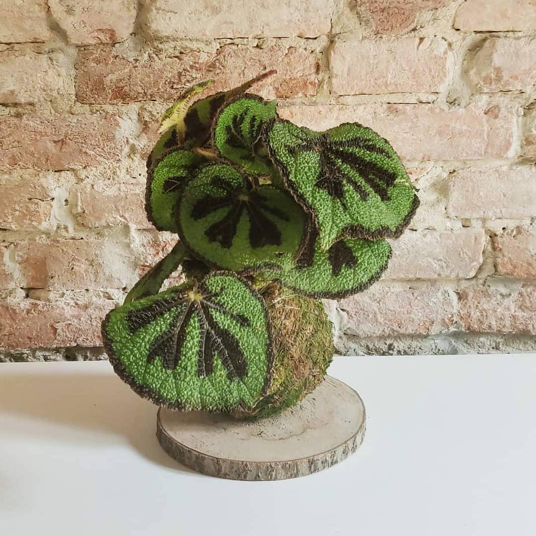 La begonia è una pianta perenne di origine tropicale, con fiori maschi e fiori femmina sulla stessa pianta.