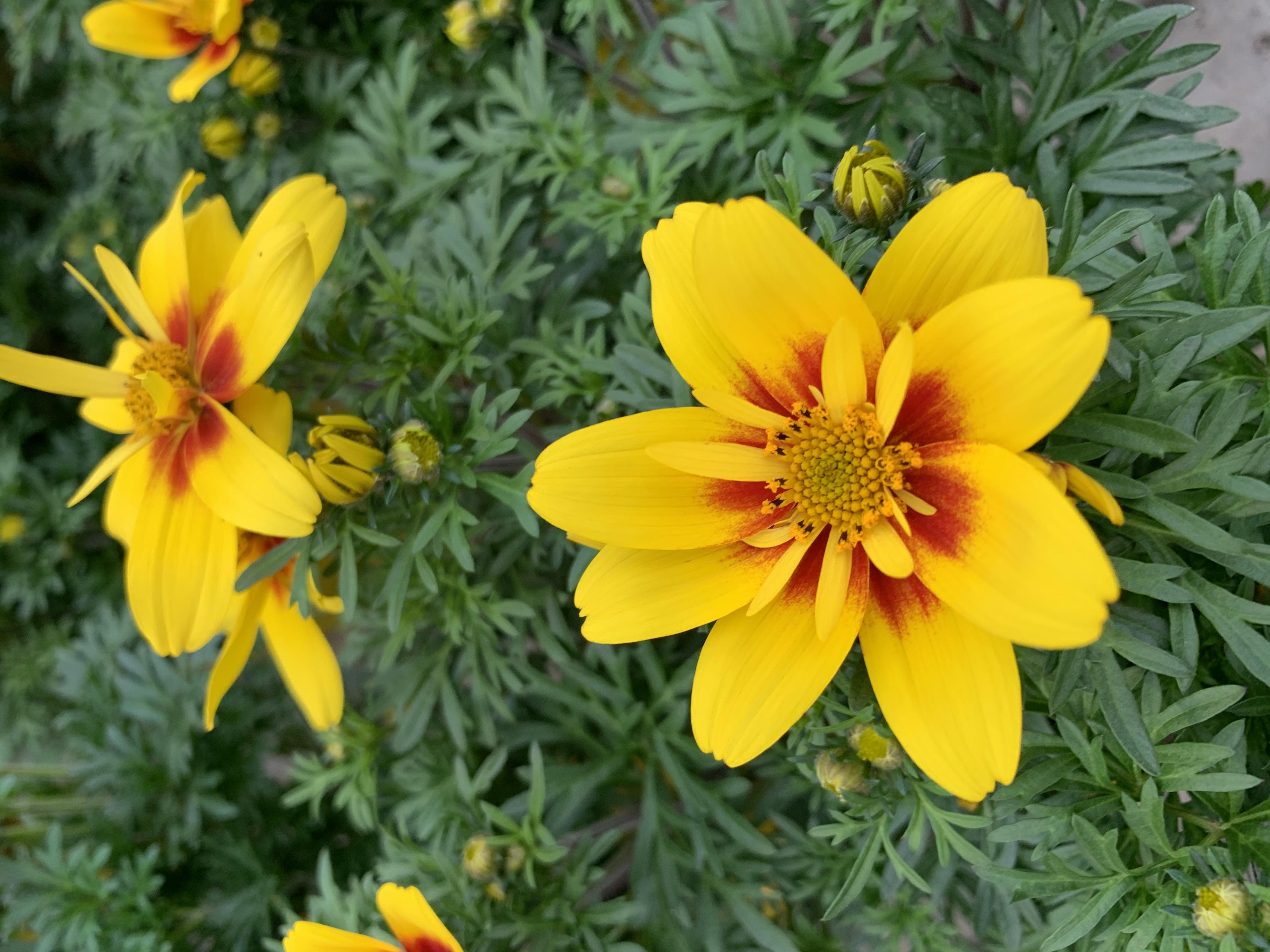 Il bidens è una graziosa pianta erbacea; è perenne, ma viene coltivata come annuale.