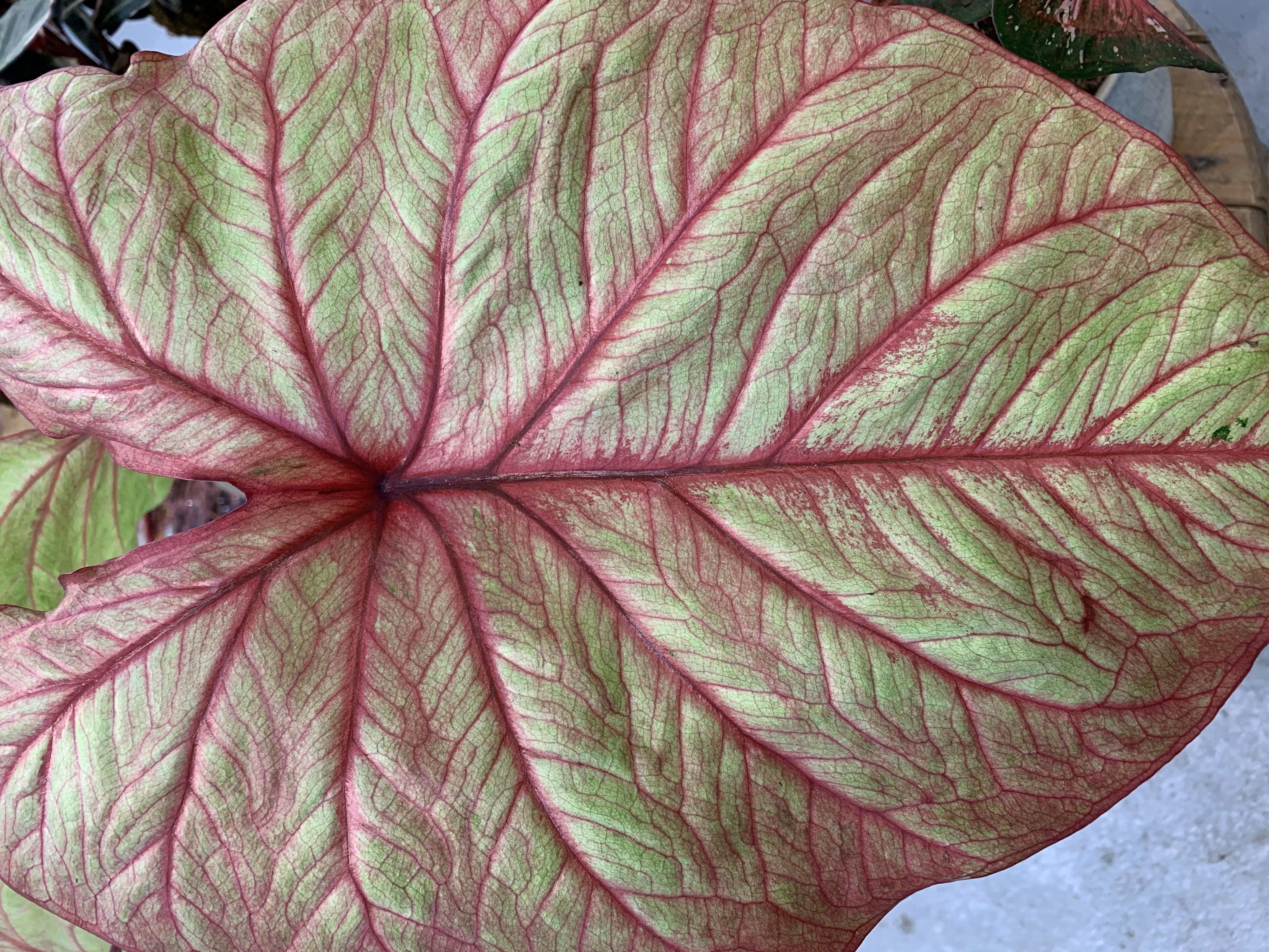 Il caladio è una pianta erbacea a foglie caduche e sviluppo primaverile ed estivo; durante il periodo vegetativo predilige temperature vicine ai 15-20°C.