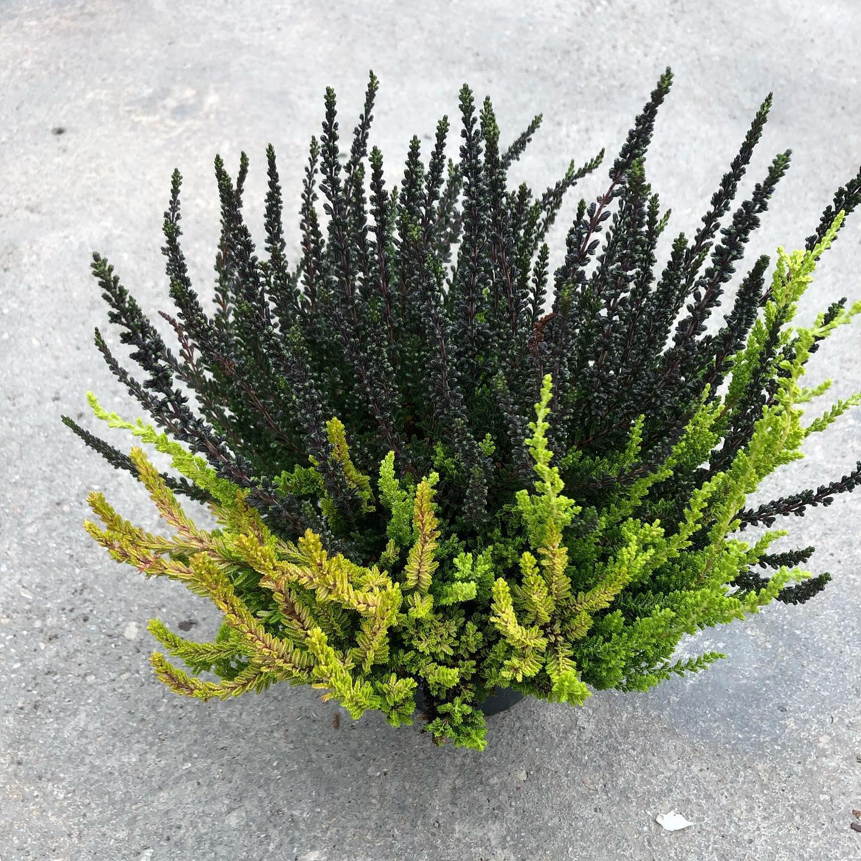 La Calluna è una pianta spontanea appartenente alla famiglia delle Ericacee