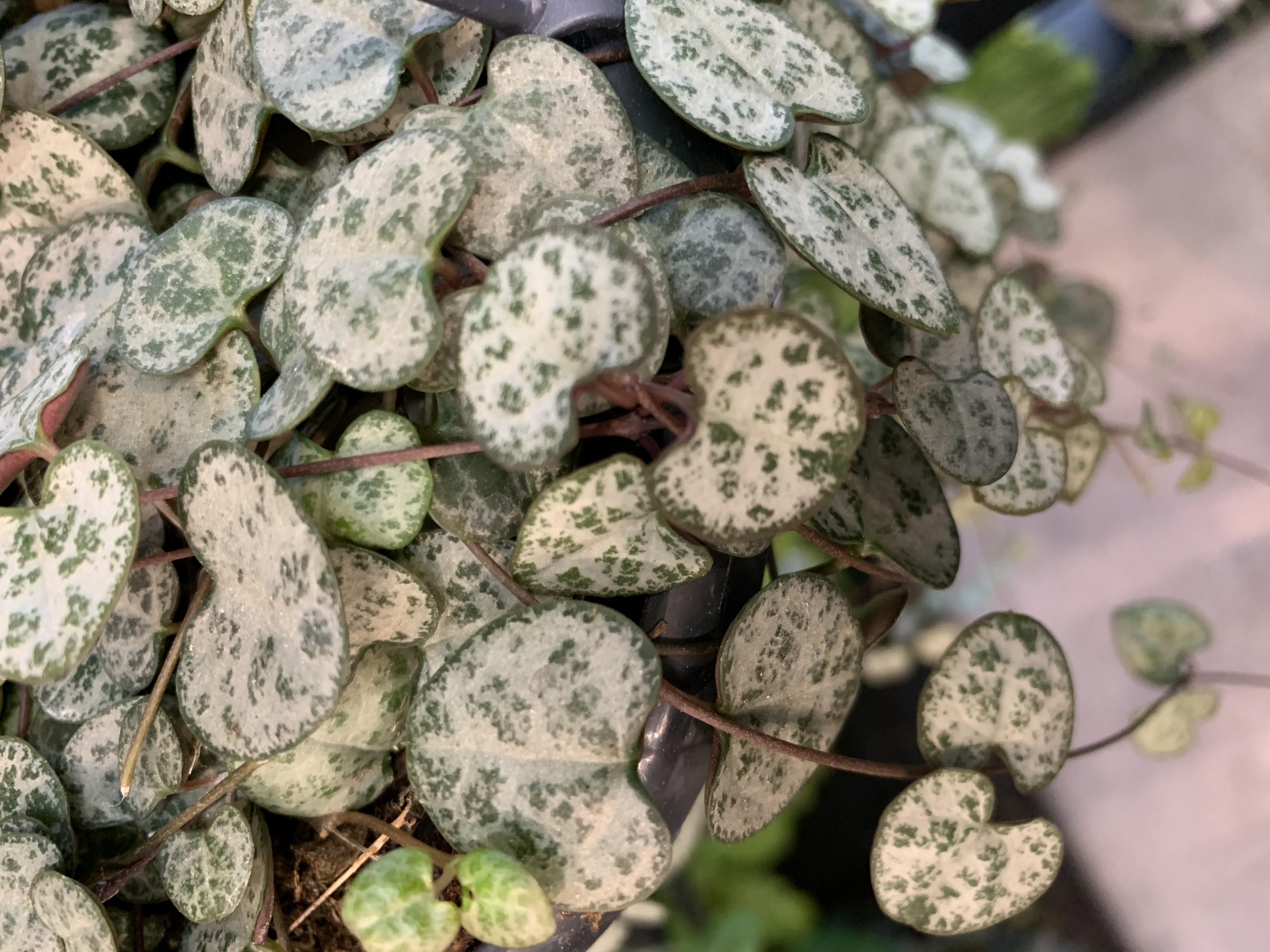 La pianta di Ceropegia Woodii è una elegante pianta pendula da appartamento, di facile coltivazione. Richiede terreno molto ben drenato e privo di ristagni idrici.