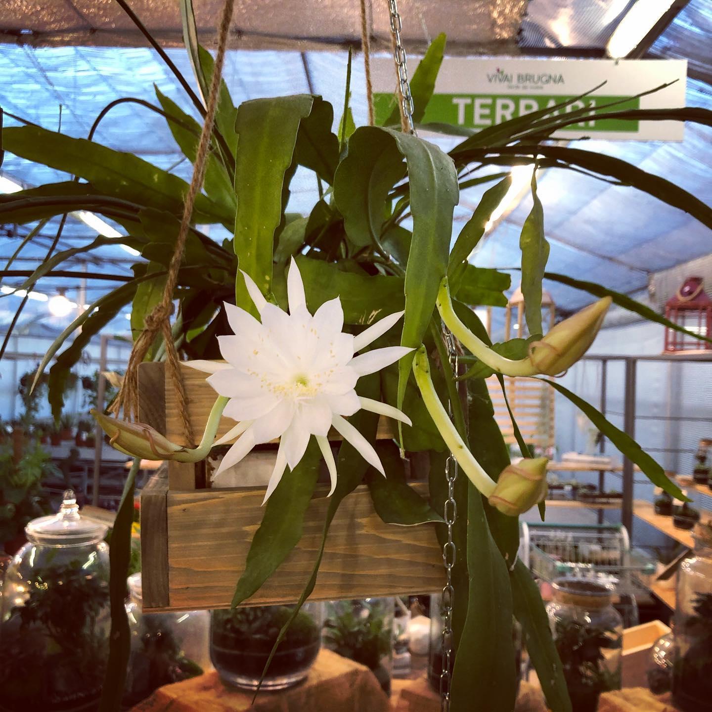 Epiphyllum, pianta grassa semplicissima da coltivare