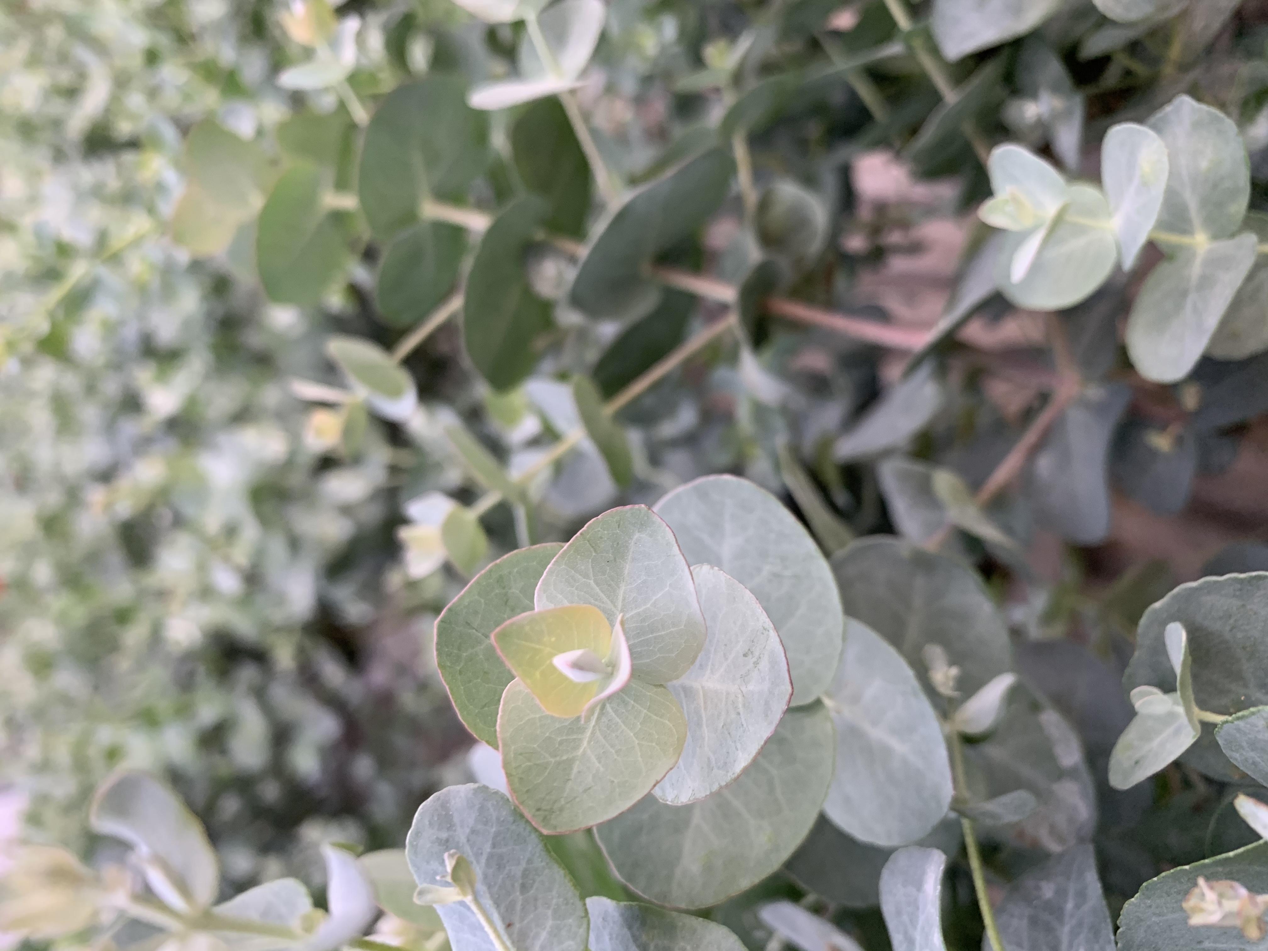 L'eucalipto è un albero sempreverde che cresce rapidamente. Le sue foglie contengono olio essenziale, acidi fenolici, flavonoidi e tannini, quindi con proprietà espettoranti, mucolitiche antisettiche e antinfiammatorie.