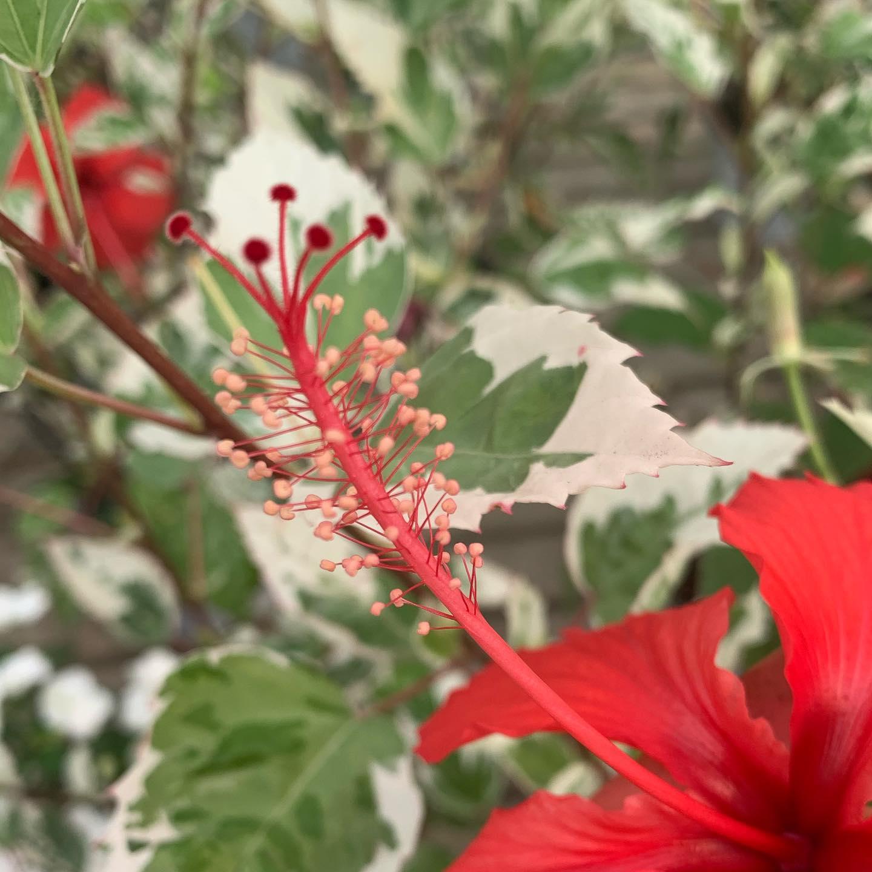 Ibisco rosa cinese, particolare del fiore