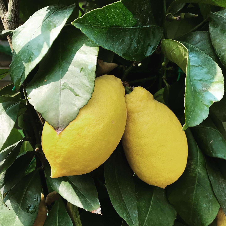 I nostri bellissimi limoni