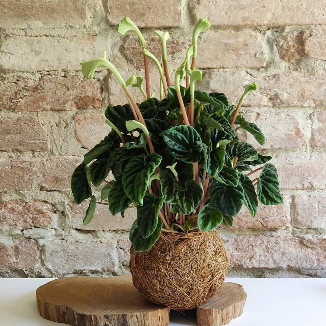Le piante di Peperomia Caperata si coltivano in posizioni luminose, o anche ombreggiate, ma sempre lontano dai raggi diretti del sole.