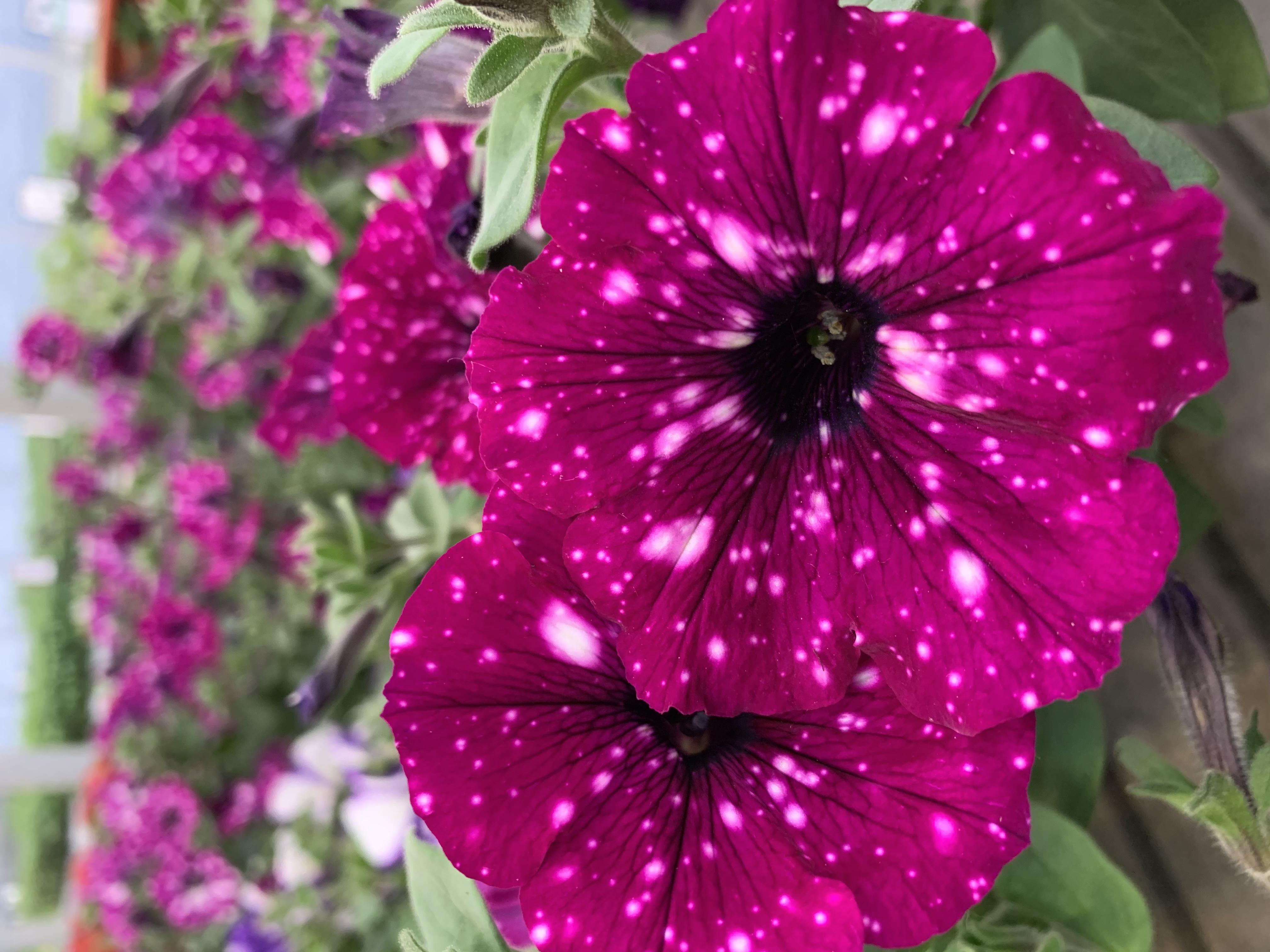 La Surfinia è una pianta molto colorata, grazie ai suoi fiori bianchi, lilla, rossi, rosa, viola. Hanno una caratteristica forma ad imbuto con portamento ricadente.