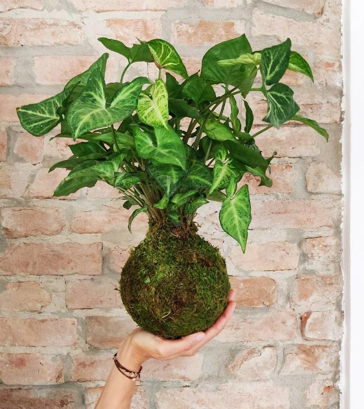 Il Syngonium è una pianta da interno facile da coltivare, che non dà tanti pensieri. È perfetta per i principianti e i pollici neri che desiderano far crescere le loro giungle urbane senza rischiare di uccidere troppe piante.