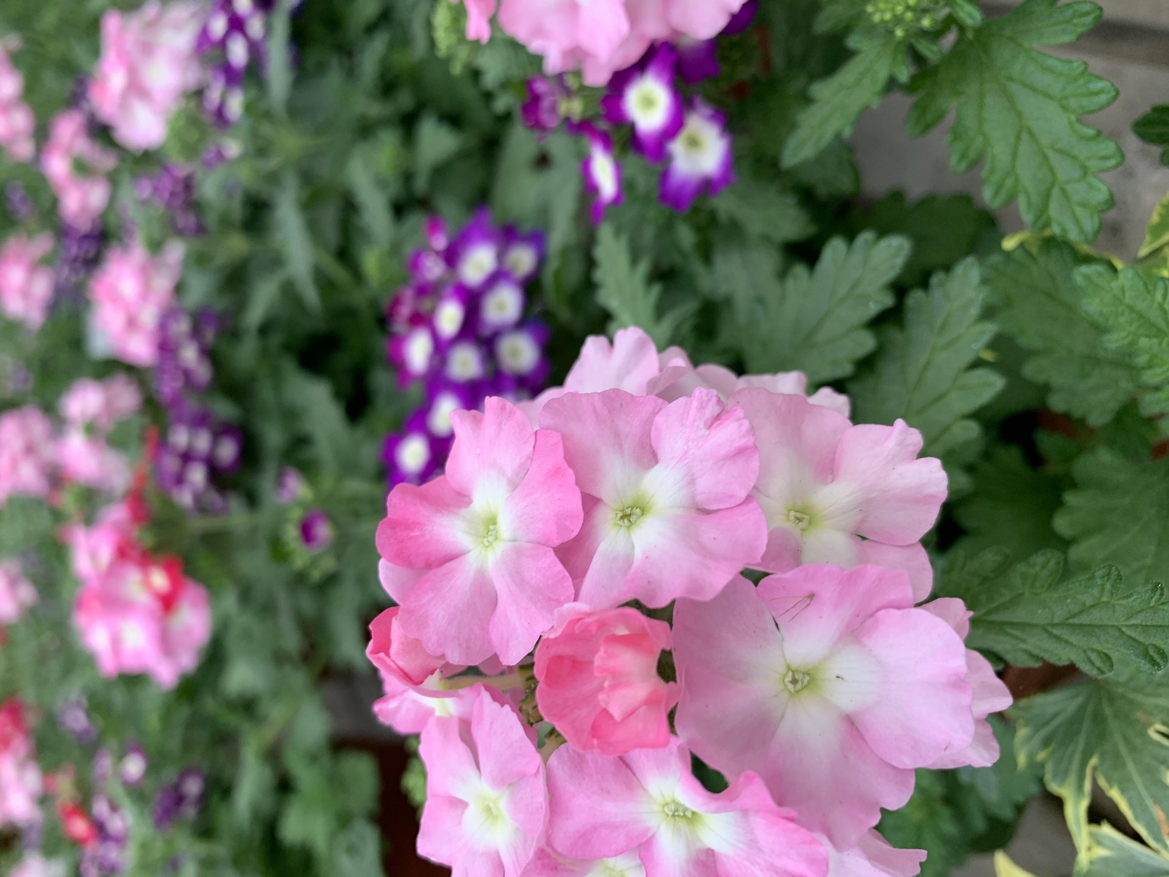 La Verbena è una pianta erbacea coltivata a scopo ornamentale in vaso e nei giardini per la sua splendida eprolungata fioritura.