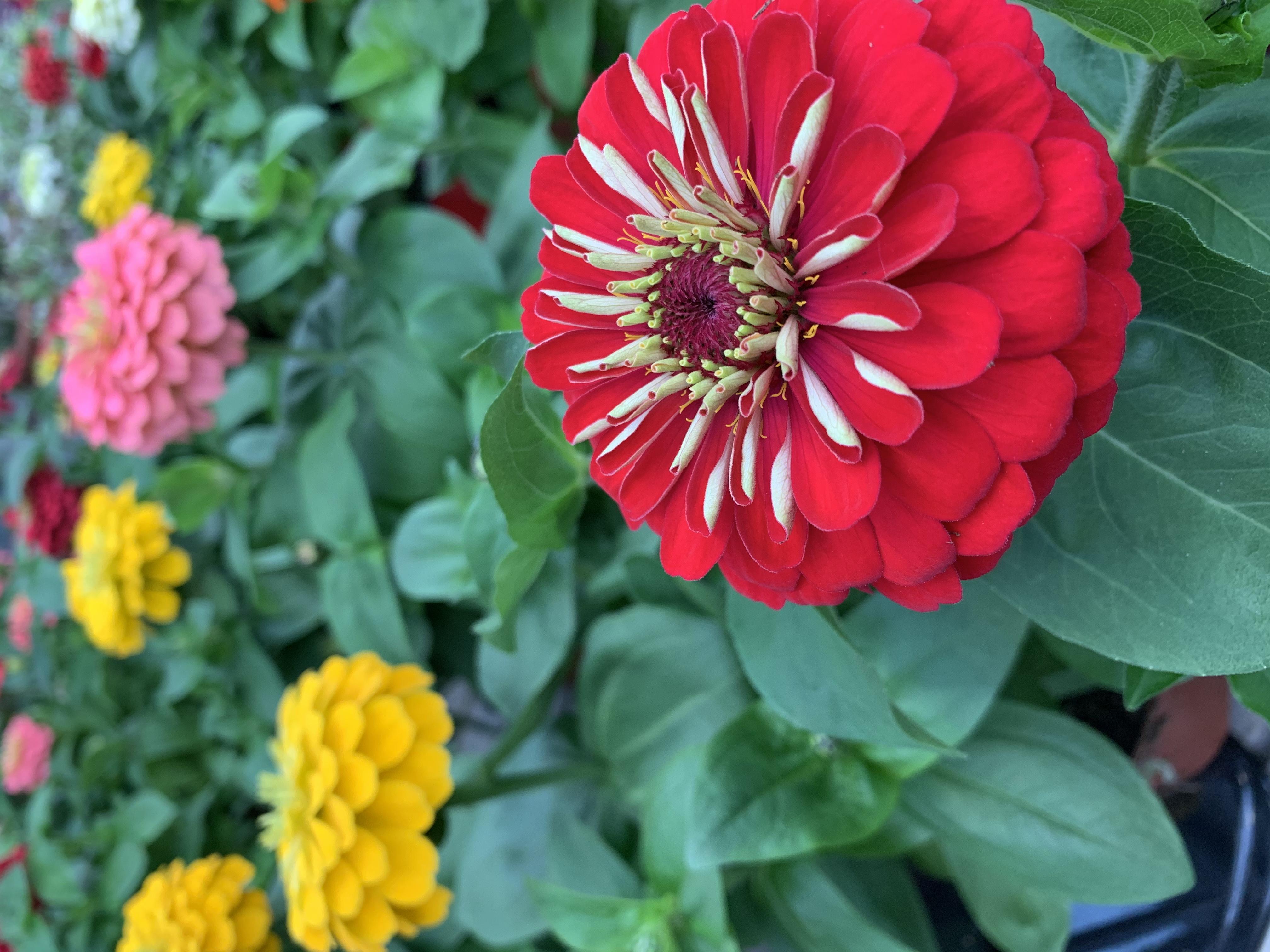 La zinnia è una pianta fiorifera molto facile da coltivare e apprezzata per le sue e scenografiche fioritureche compaiono generose da giugno ad ottobre.
